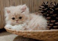 Persian Kitten 3
