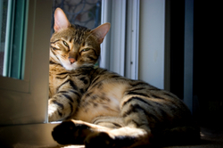 Bengal cat sunbathing