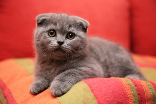 Scottish Fold Cute Kitten
