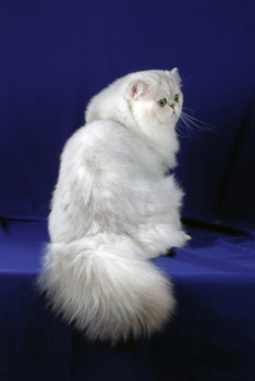 Persian Cat with Blue Background