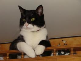 Presley the Cat