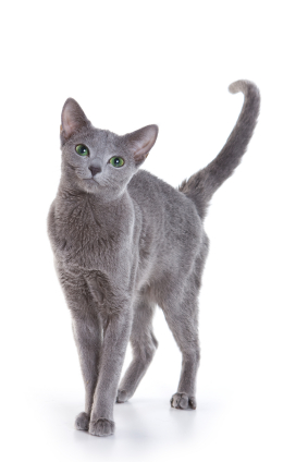 Russian Blue Small Cat