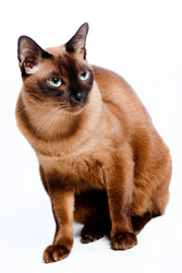 Burmese Cat - Asian Cat Names