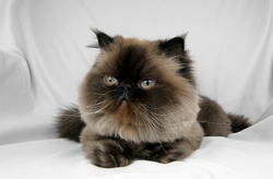 Himalayan Cat Picture 1