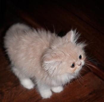 Persian Kitten 2