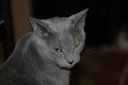 Russian Blue Cat Picture