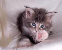 Silly Kitten