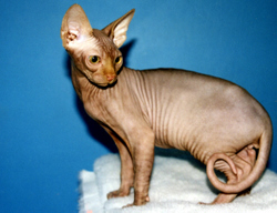 Sphynx – Hairless Cat