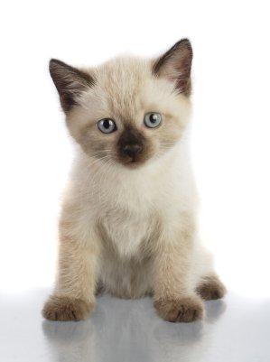 Siamese Cute Kitten