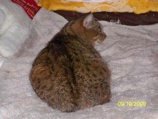 Mia the cat in bed