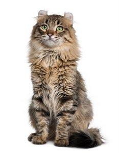 American Curl Cat 2