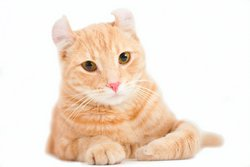 American Curl Cat Orange