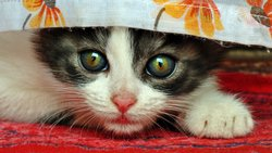 Big Eyes Kitten