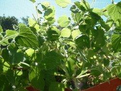Catnip Plant 02