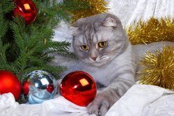 Christmas Cat Picture
