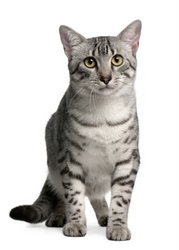 Egyptian Mau Cat Picture