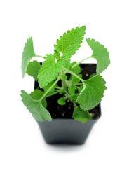Catnip Plant