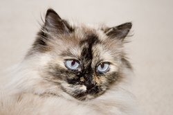 Himalayan Cat Picture 2