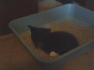 Bingo lying in the littler box. Same as Taylor when he was a kitten.