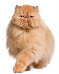 Orange Persian Cat Picture