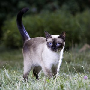 Thai Cat Siamese Cat